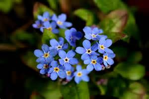 Forget Me Not Flower Meaning - forget me not flower meaning flower meaning