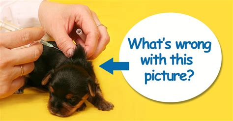 how much are vaccinations for puppies 3 puppy vaccination mistakes early often much dogs naturally magazine