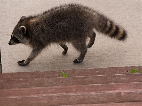 Raccoons In Backyard by Two Visitors In The Back Yard Raccoon Cat Schappet
