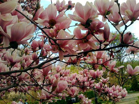 alberi colorati da giardino magnolia exclusive brands