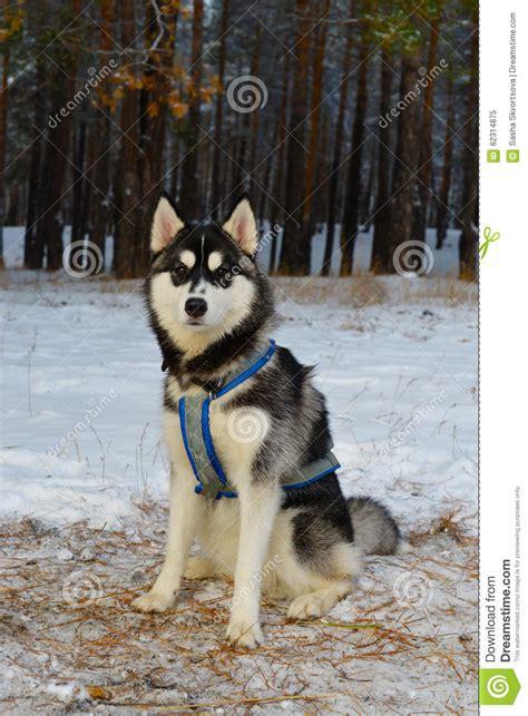 sled breeds sled breed siberian husky stock photo image 62314875