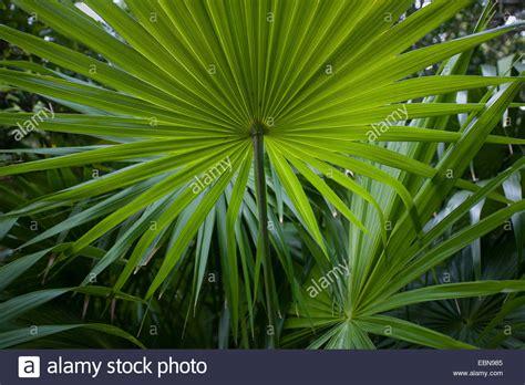 florida thatch palm thrinax radiata curry hammock state
