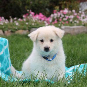 american eskimo puppies for sale in pa american eskimo puppies for sale in de md ny nj philly dc and baltimore