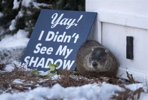 groundhog day in canada canada s groundhogs predict an early