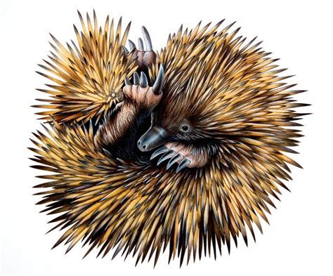 echidna clipart echidna illustration