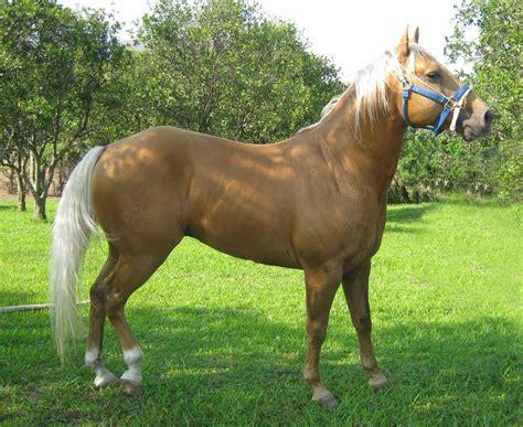 caballos cuarto d milla sobre cuarto de milla o quarter horse de equis
