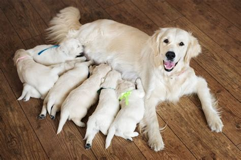 doodle doodle breeders how to choose a labradoodle breeder or rescue center