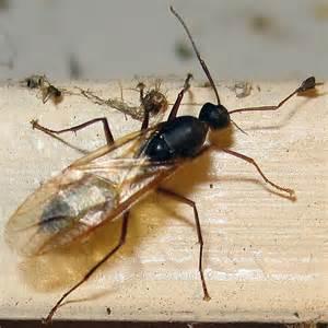 camponotus pennsylvanicus eastern black carpenter ant