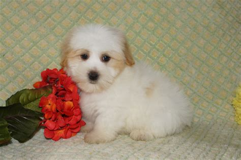 puppies for sale in indianapolis indiana havanese puppies for sale indianapolis and south bend indiana family puppies