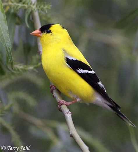 american goldfinch passaros pinterest