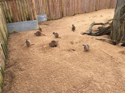 bca zoo day photo6 jpg picture of meerkat encounter at berkshire