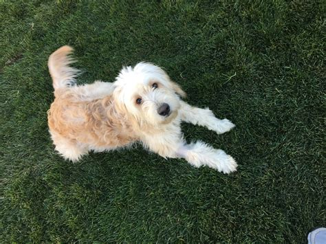doodle acres ontario puppy mill golden acres akc golden retriever goldendoodle puppies