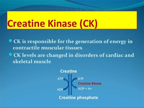 creatine metabolism creatine metabolism