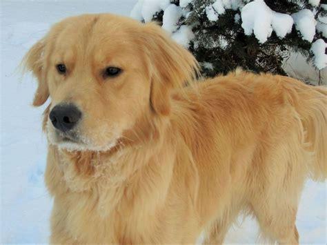 golden retriever puppies il pearson breeders lake il