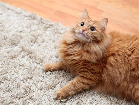Anakan Kelinci Bulu Karpet cara hilangkan bulu hewan peliharaan dari karpet