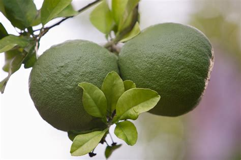 pomelo fruit preparation tips  nutrition facts