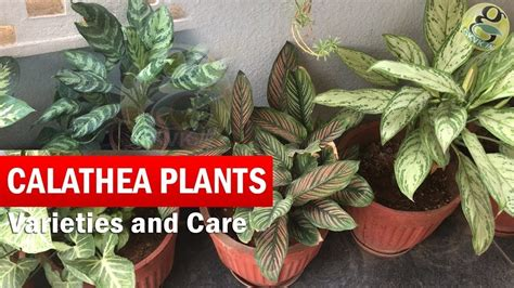 calathea plants varieties  identification   grow