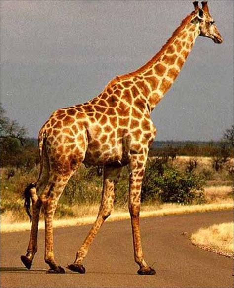 imagenes de jirafas apareandose image gallery imagenes de jirafas