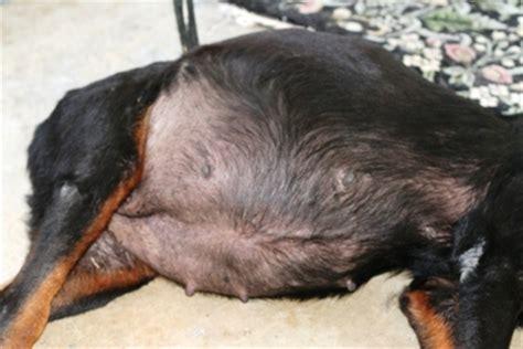 rottweiler eye infections gulfstream guardian rottweiler rescue