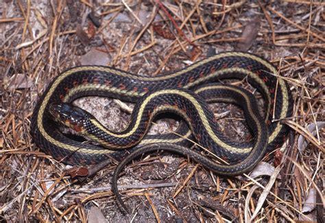 Garter Snake Oregon by Common Gartersnake Thamnophis Sirtalis