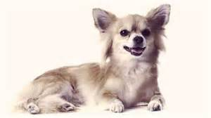 hair chihuahua hair growth what to expect how to groom a long haired chihuahua petcarerx