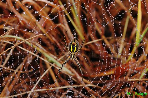 why are spider webs a popular christmas tree decoration tinsel and the spider bug of the week
