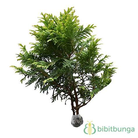 Tanaman Daun Cemara Golden Malaika tanaman cemara kinoki bibitbunga