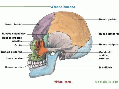 imagenes de huesos temporales esqueleto humano saludalia com