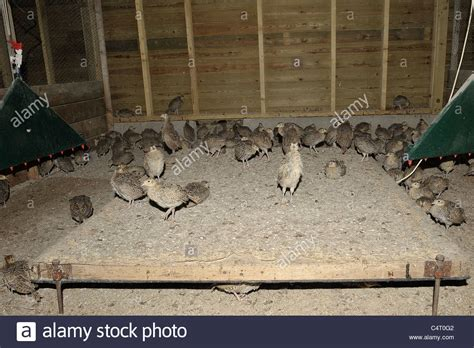 Pheasant Rearing Sheds by Pheasant In A Rearing Shed Stock Photo Royalty