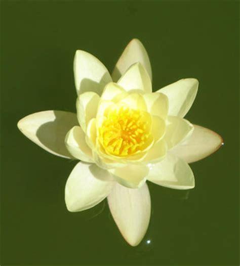 fiore di loto simbologia pelosini 187 archive 187 simboli fiore di loto