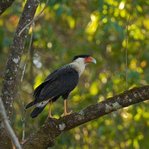 central american birds