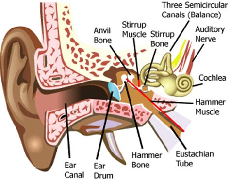 diagram of the ear canal science july 2012