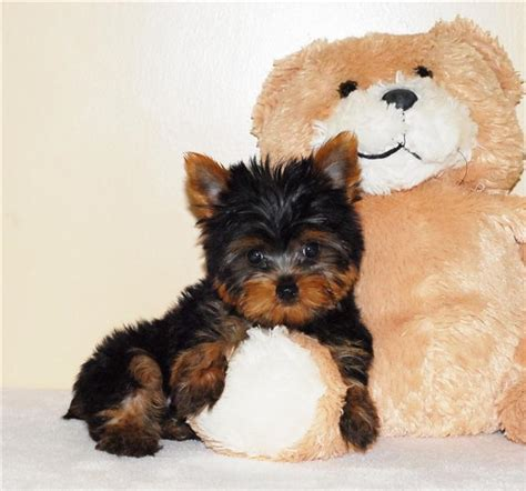 teacup yorkie breeders in arkansas pets el dorado ar free classified ads