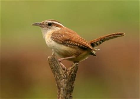 state bird of carolina south carolina state bird