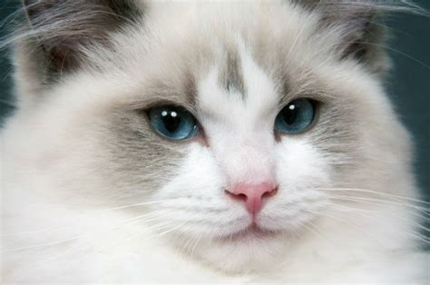 rag doll not on the high ragdoll breed information and photos thriftyfun
