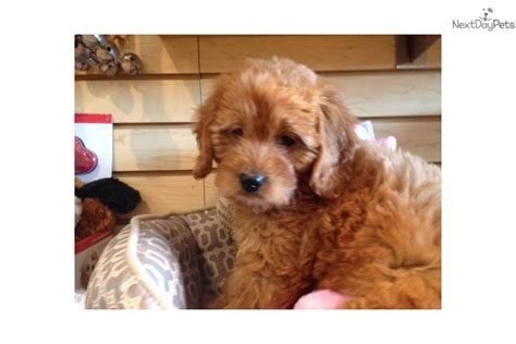 goldendoodle puppy diet minnie goldendoodle puppy for sale near west palm