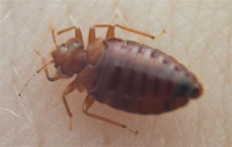 full grown bed bug eco therm pest exterminators offer 15 off first service