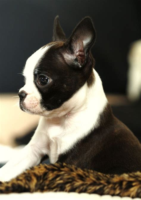 boston terrier boston terrier obsessed