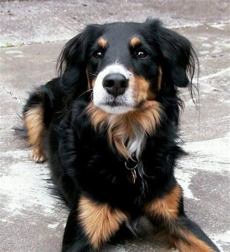 golden retriever mixed with rottweiler rottweiler golden retriever mix photo happy heaven