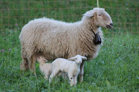 and baby baby sheep wallpapers baby animals