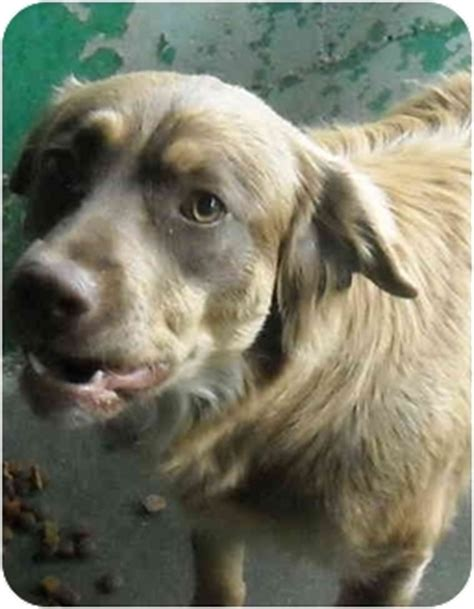 golden retriever rescue south australia coco adopted 13841 varnville sc australian shepherd golden retriever mix