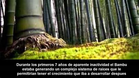 imagenes bambu japones el bambu japones una linda historia youtube