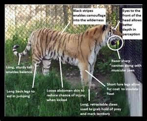 How Do Jaguars Adapt To Their Environment Designeranimals2011 Siberian Tiger