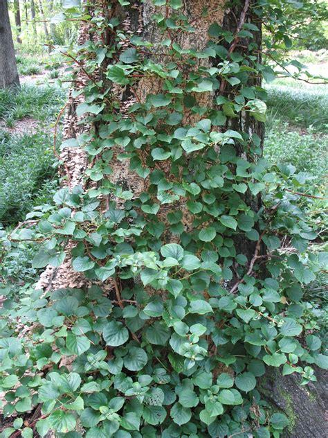 climbing vines online plant guide hydrangea anomala petiolaris