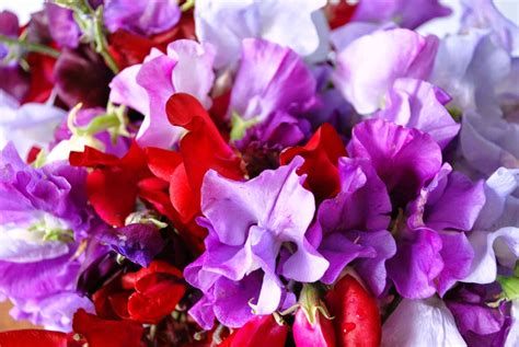 Sweet Blooms by Buy Sweet Pea Seeds The Garden Of Eaden