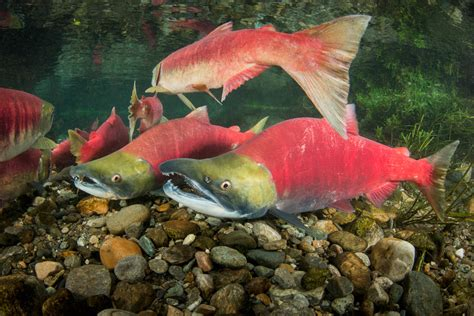 salmon photographs image and video resource page