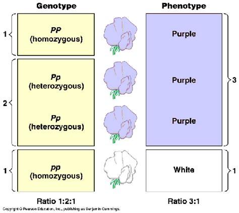 heterozygous vs homozygous www pixshark com images