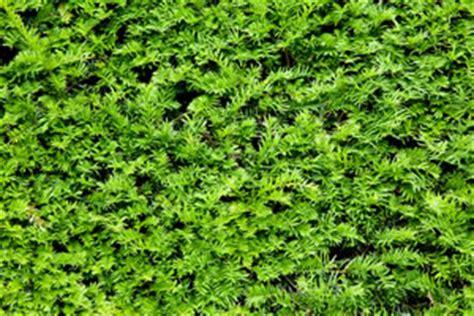Wie Pflanze Ich Eine Hecke 5269 by Eibe Eibenhecke Pflanzen Pflege Und Schneiden