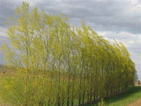 top 28 aus tree windbreaktrees com 225 rbol gavil 225