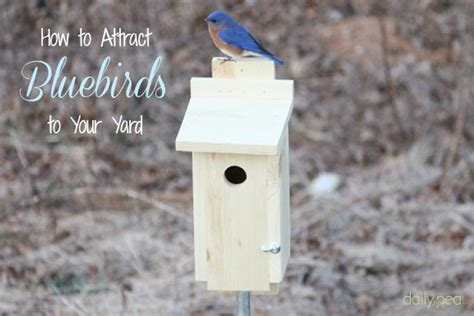 how to attract bluebirds to your yard a bird house is